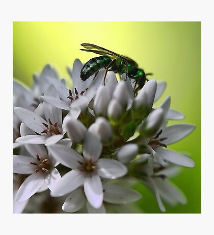 Gooseneck Loostrife and Metallic Green Bee Photographic Print