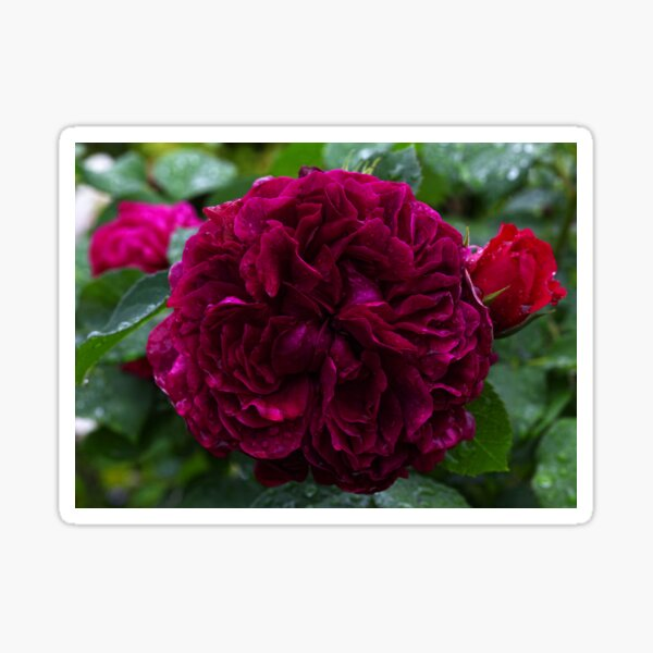 English David Austin Rose William Shakespeare Sticker