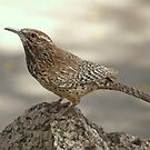 Cactus Wren by K D Graves Photography