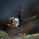 Atlantic Puffin by wildlifephoto