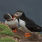 Atlantic puffins by wildlifephoto