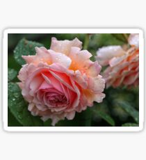 English David Austin Rose A Shropshire Lad Sticker