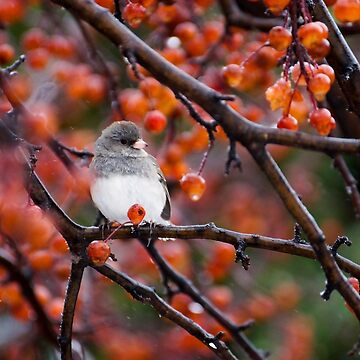 Dark-Eyed Junco (Slate) by FlareND