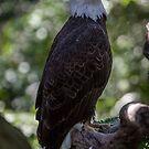 Bald Eagle - Haliaeetus leucocephalus by Edvin  Milkunic