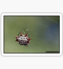 Spiny Orb Weaver - Gasteracantha Cancriformis Sticker