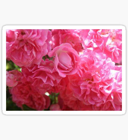 Pink Climbing Roses Sticker