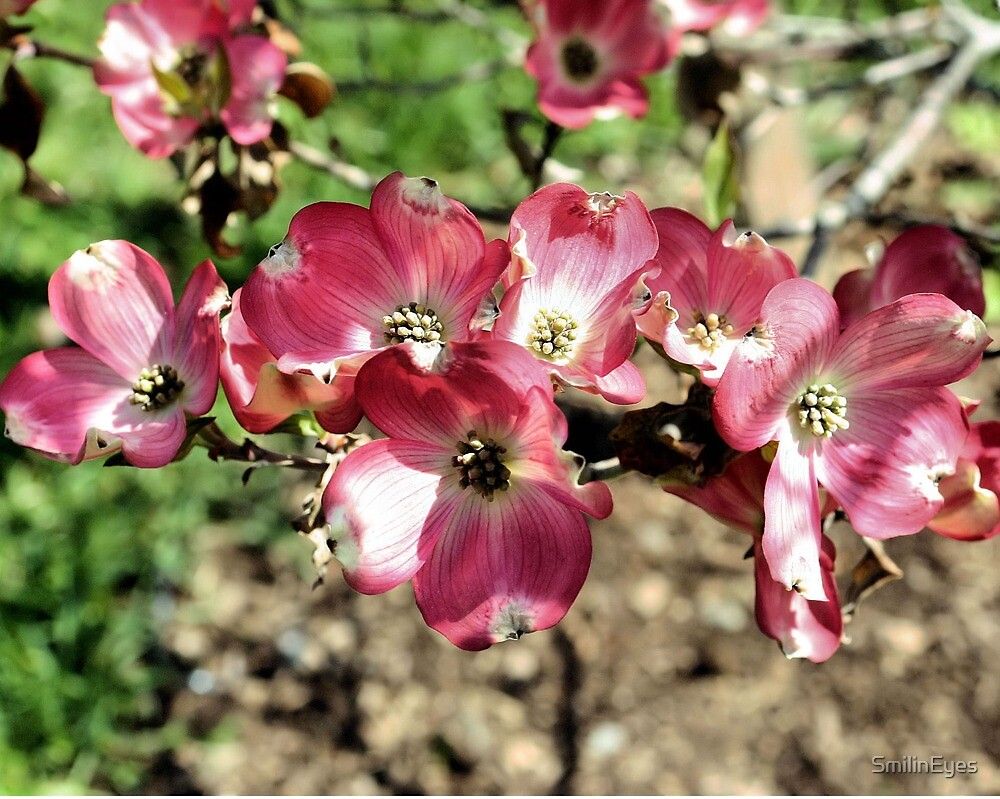 Pink Dogwood Flowers by SmilinEyes