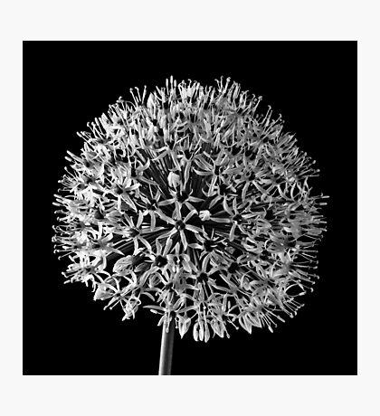 White Allium Photographic Print