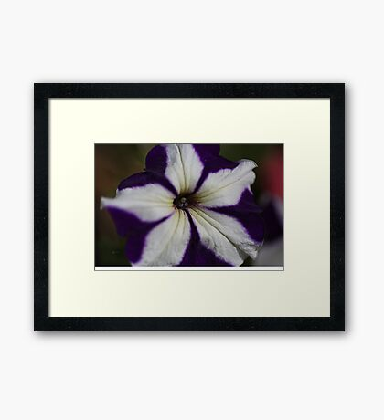 Hearts Of Petunia  Framed Print