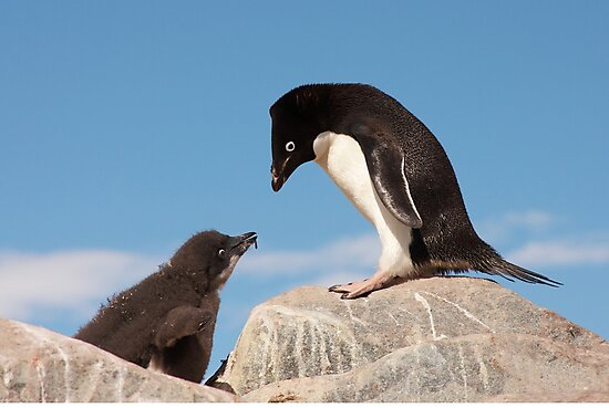 """Adelie Penguin and Chick ~ """"Well......if you say so dad"""" by Robert Elliott"""