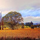 Field of Gold by wallarooimages
