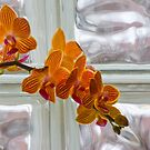 Studies in Glass Brick #2--Orchid by Imagery