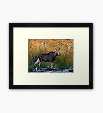 Maine Moose, yearling bull Framed Print