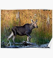Maine Moose, yearling bull Poster