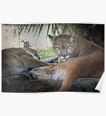 Facing Extinction - Florida Panther Poster