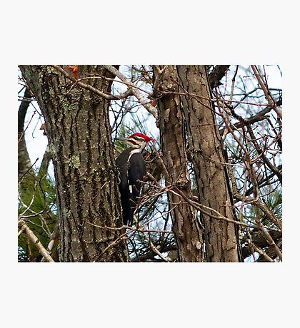 Male Pileated Woodpecker Photographic Print