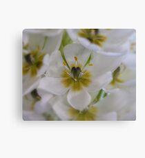 Weiße Sternblume - Ornithogalum 1 Leinwanddruck