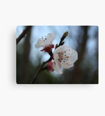 Close Up Apricot Blossom In Pastel Shades Canvas Print