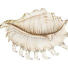 Spider Conch Shell in Coloured Pencil by Fiona Cross