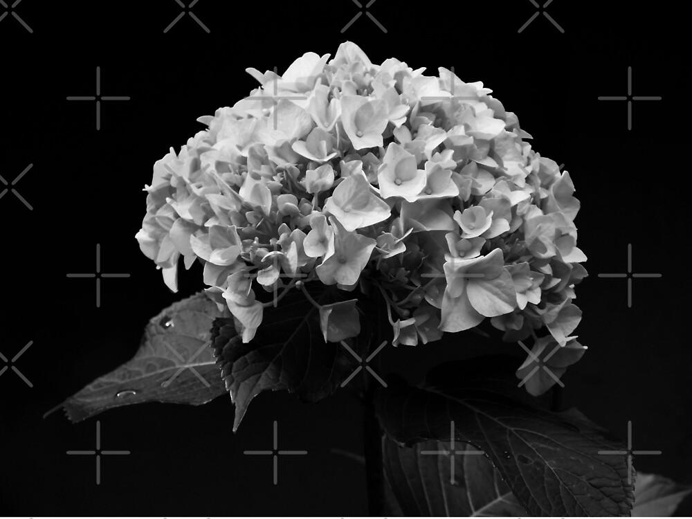 Hydrangea by Yampimon