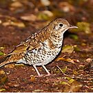 Bassian Thrush by Robert Elliott