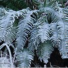 New year frosted ferns by Rainydayphotos