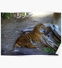 Relaxing Tiger Poster