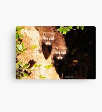 Baby Raccoons (Procyon lotor) Canvas Print