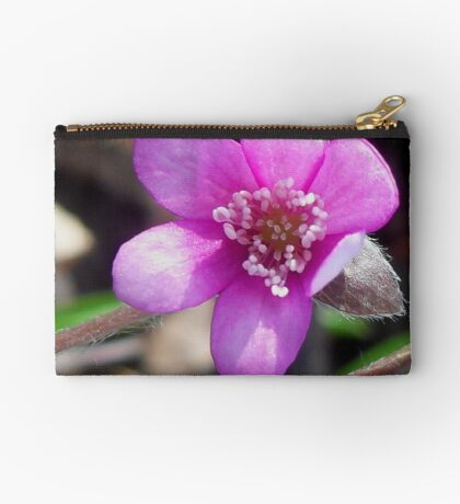 First Hepatica of the season  Studio Pouch