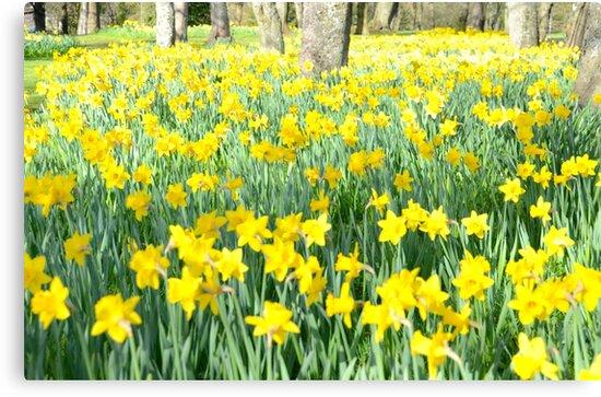 Daffodil wood by chris148