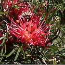 Winpara Gem Grevillea!  Native plant. Adelaide Hills. by Rita Blom