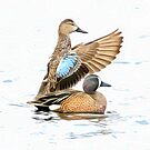Blue Winged Teals by SuddenJim