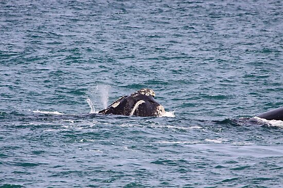 Victor Harbor Southern Right Whales Pt.10 by Stuart Daddow Photography