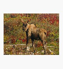 Maine Bull Moose in the fall Photographic Print