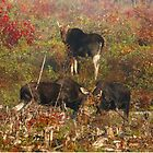 Maine bulls & cow moose by Enola Wagner