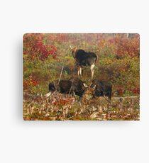 Maine bulls & cow moose Canvas Print