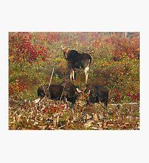 Maine bulls & cow moose Photographic Print