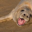 Seal Pup On The Beach At Donna Nook by Robert Taylor