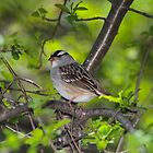 White-Crowned Sparrow by hummingbirds