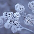 Frosted Seed Heads by lorilee