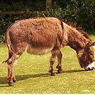 Donkey Grazing by lezvee