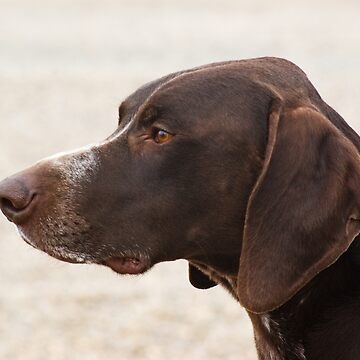 German Shorthaired Pointer by Kawka