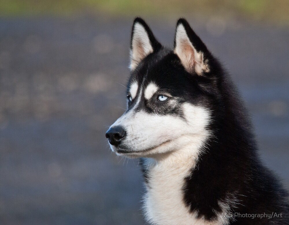 Siberian Husky Dog by M.S. Photography/Art