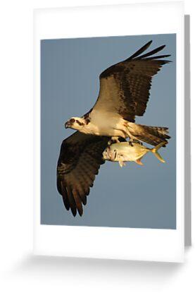 Osprey Fishing by WorldDesign