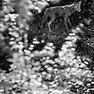 Kojote von Marianna Tankelevich