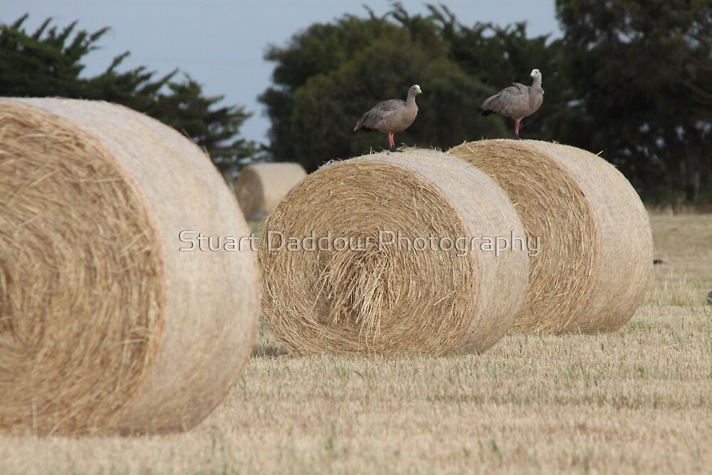 Hay Goosey, Goosey. by Stuart Daddow Photography
