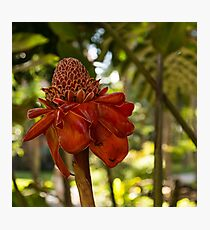 Red Torch Ginger or Ginger Lily in Hawaii Photographic Print