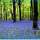 Haze Of Blue - Bluebell Wood Dorset by naturelover