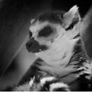 Ring tailed lemur by Matthew Folley