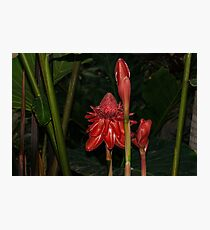 Red Torch Ginger Lily - Glossy, Exotic and Wonderful Photographic Print